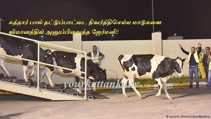 cows qatar